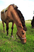 Brun häst — Stockfoto