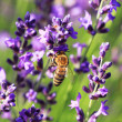 Stock Photo: Bee on a Lavender flower