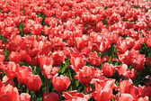 Red tulip — Stock Photo
