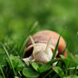 Stock Photo: Snail. Helix pomatia.