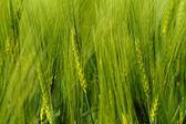 зеленый пшеницы — Стоковое фото