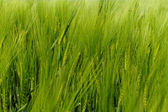 Green wheat — Stockfoto