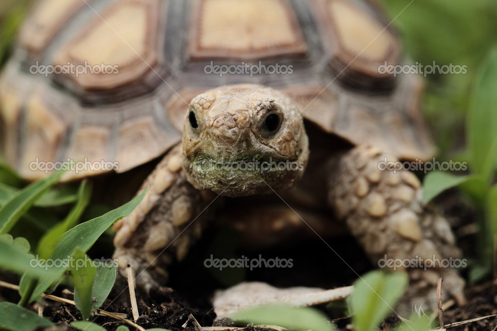 African Sulcata Tortoise Habitat African Spurred Tortoise Geochelone Sulcata Macro Photo by Adrx