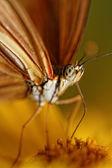 オレンジ色の蝶 — ストック写真