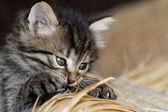とら子猫 — ストック写真