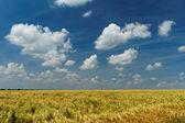 Green and yellow wheat — Stock Photo