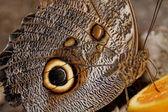 Fotografia macro di una farfalla — Foto Stock