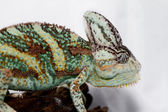 Chamaeleo calyptratus — Stock Photo
