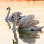 Постер, плакат: Lonely swan