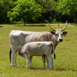 Stock Photo: Gray cattle