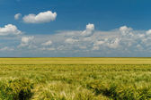 Green and yellow wheat — Stock Photo