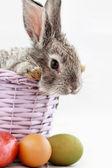 Gray rabbit — Fotografia Stock