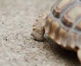 African Spurred Tortoise (Sulcata) — Stockfoto