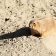 Black-tailed Prairie Dog — Stock Photo #39300763