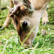 Roe deer — Foto de stock #39300961