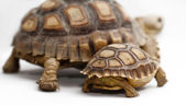 Two African Spurred Tortoise (Sulcata) — Stock Photo