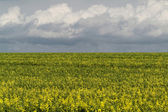 Colza field — Stock Photo