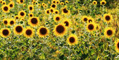 Sunflowers field — Foto de Stock