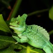 Close up of Green Basilisk Lizard — Stock Photo #39768179