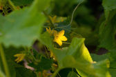 Cucumber flower — Stock Photo