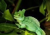 Close up of Green Basilisk Lizard — Stock Photo