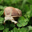 Snail. Helix pomatia. — Stock Photo #39772201