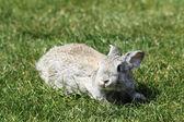 Gray rabbit — Stockfoto