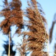 Reed — Stock Photo #39848273