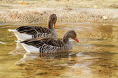 Wild-goose — Foto Stock