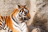 Tygří máma — Stock fotografie