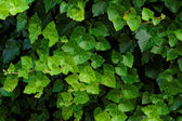 Grean leaves — Stock Photo