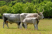 Gray cattle — Stock Photo