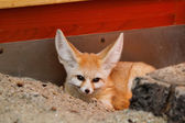 Desert fox — Stock Photo