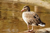 Wild-goose — Stock Photo