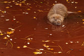 Beaver in the water — Stok fotoğraf