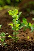 Pea plants — Stock Photo