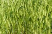 Green grain — Stock Photo