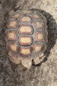 Tortoiseshell — Stock Photo