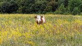 çayır on inek — Stok fotoğraf