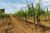 Tokay grapes — Stock Photo