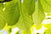 Green leaves — Stok fotoğraf