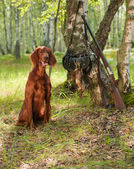 Hunting dog near to shotgun and trophy, outdoors — Stock Photo