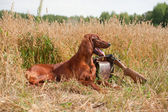 Irish setter near to shotgun, outdoors — Stock Photo