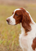 Portret irish setter, vertical. Closeup. — Stock Photo