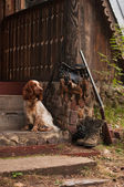 Spaniel and trophies — Stock Photo