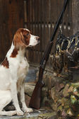 Gun dog near to shot-gun and trophies — Stock Photo