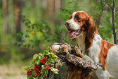 Setter near to trophies — Stock Photo