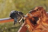 トロフィーは、水平、屋外の近くに銃犬 — ストック写真