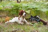 Setter with hunting birds and gun — Stock Photo