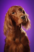Dog portrait on purple background, in studio, vertical — Stock Photo